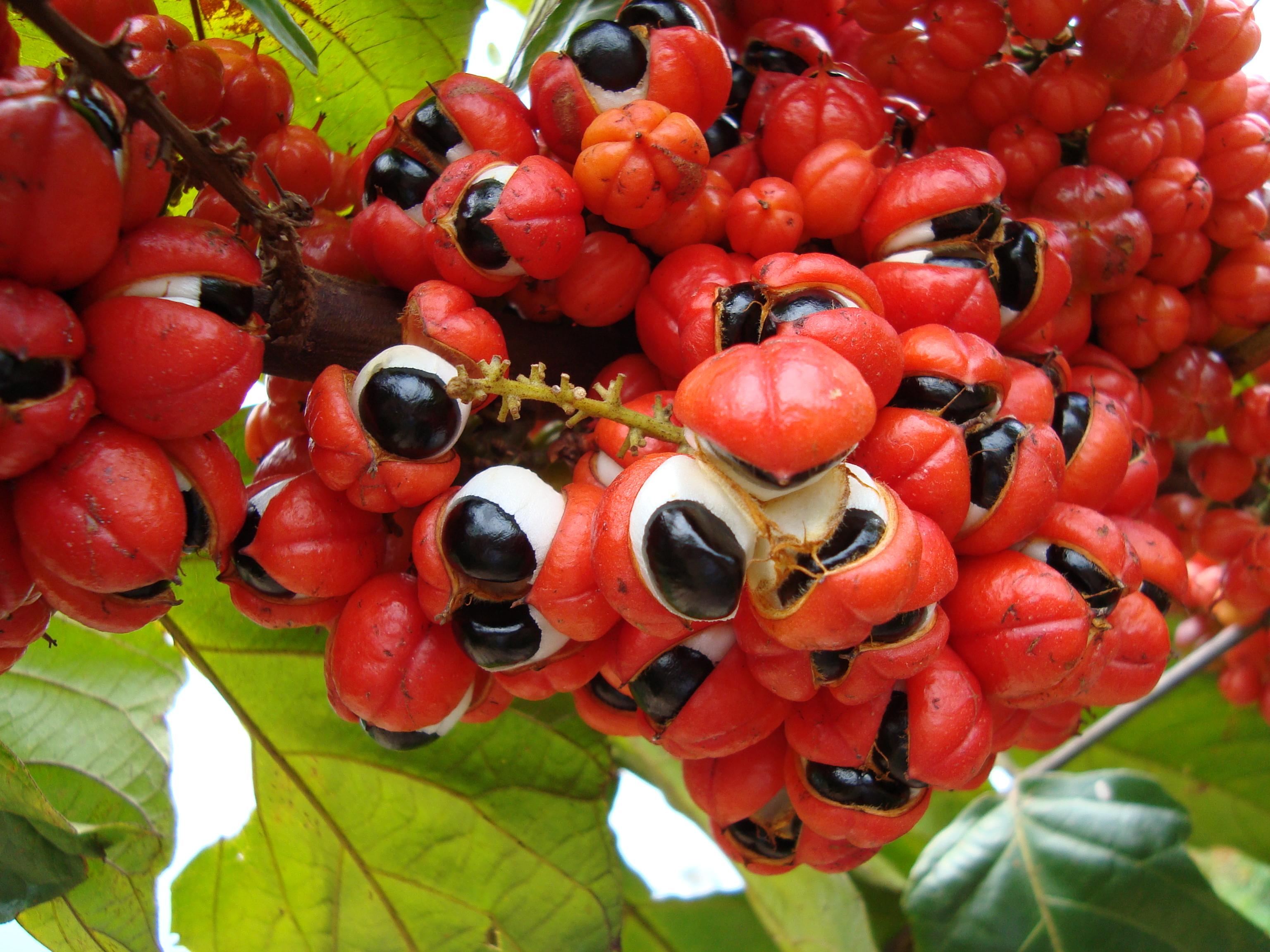 Frutos do Guaraná.